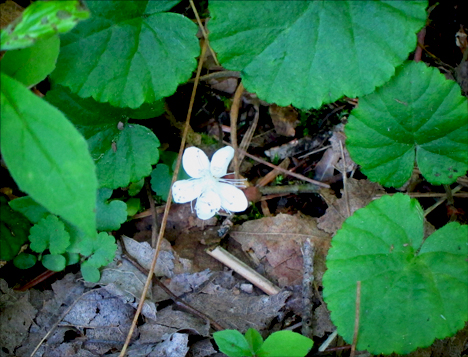 Adirondack Wildflowers: DewDrop (False Violet) in bloom at the Paul Smiths VIC (28 June 2012)