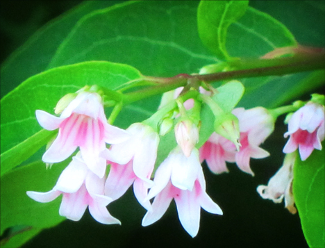 Adirondack Wildflowers: Spreading Dogbane blooming near the Paul Smiths VIC building