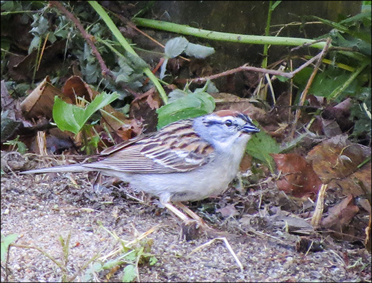 Birds of the Adirondacks: Chipping Sparrow near the Paul Smiths VIC Building (30 May 2015)