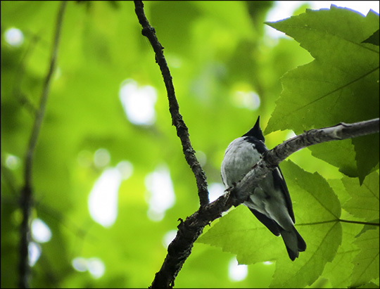 Birds of the Adirondacks:  Black-throated Blue Warbler on the Barnum Brook Trail at the Paul Smiths VIC (30 May 2015)