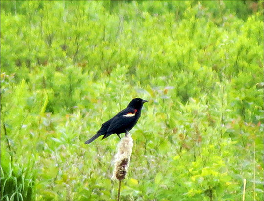 Birds of the Adirondacks: Red-winged Blackbird on Heron Marsh at the Paul Smiths VIC (30 May 2015)