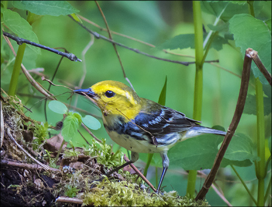 Birds of the Adirondacks: Black-throated Green Warbler on the Logger's Loop Trail at the Paul Smiths VIC (30 May 2015)