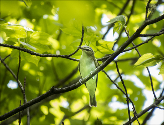 Birds of the Adirondacks: Red-eyed Vireo on the Logger's Loop Trail at the Paul Smiths VIC (30 May 2015)