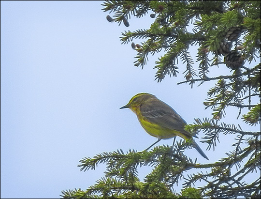Birds of the Adirondacks: Palm Warbler on Barnum Bog at the Paul Smiths VIC (30 May 2015)