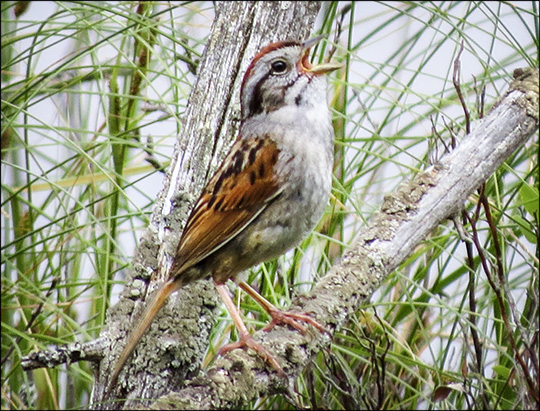 Birds of the Adirondacks: Swamp Sparrow from the Heron Marsh Trail tower at the Paul Smiths VIC (4 July 2015)