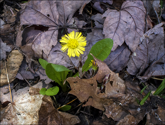 Adirondack Wildflowers:  Coltsfoot in bloom on the Barnum Brook Trail at the Paul Smiths VIC (4 May 2013)