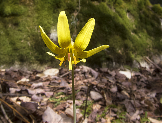 Adirondack Wildflowers:  Adder Tongue in bloom on the Boreal Life Trail at the Paul Smiths VIC (4 May 2013)
