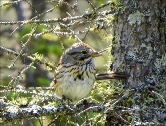 Birds of the Adirondacks:  Lincoln's Sparrow on Barnum Bog (5 July 2014)