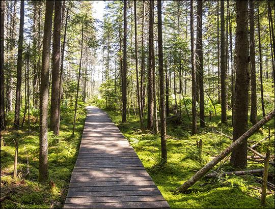 Adirondack Wetlands: Boardwalk on the Boreal Life Trail (5 July 2014)