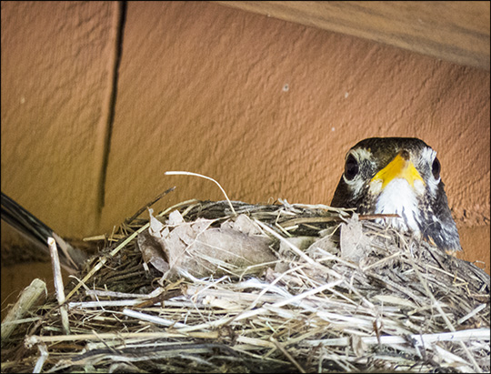 Birds of the Adirondacks:  American Robin on her nest at the VIC building (5 July 2014)