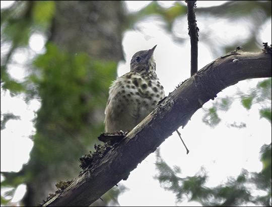 Birds of the Adirondacks: Hermit Thrush on the Heron Marsh Trail (7 September 2013)