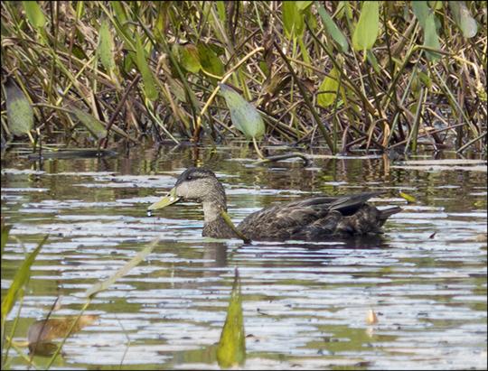 Birds of the Adirondacks: American Black Duck on Heron Marsh (7 September 2013)
