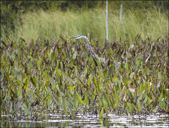 Birds of the Adirondacks: Great Blue Heron on Heron Marsh (7 September 2013)