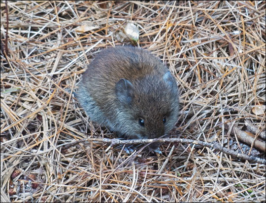 Adirondack Mammals: Red-backed Vole on the Heron Marsh Trail (7 September 2013)