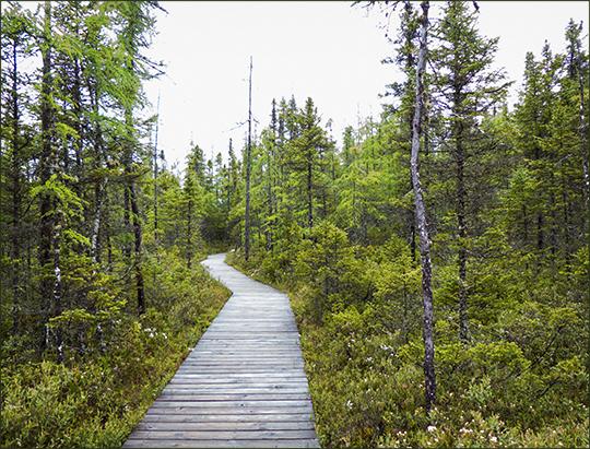 Adirondack Habitats:  Boreal Life Trail boardwalk across Barnum Bog at the Paul Smiths VIC (8 June 2013)