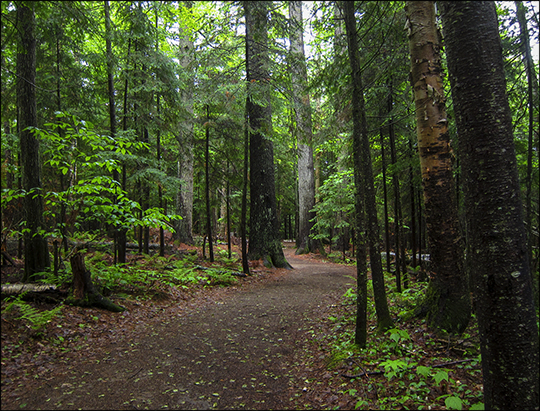 Adirondack Habitats:  Mixed hardwood/conifer forest on the Barnum Brook Trail (8 June 2013)