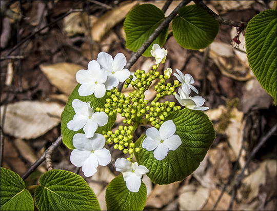 Witch Hobble in bloom along the Heron Marsh Trail at the Paul Smiths VIC (8 May 2013)