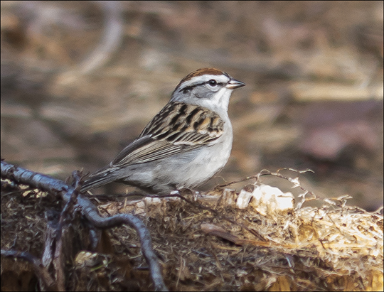 Birds of the Adirondack Park:  Chipping Sparrow at the Paul Smiths VIC (8 May 2013)