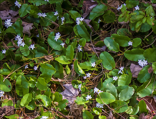 Wildflowers of the Adirondack Park:  Trailing Arbutus along the Heron Marsh Trail at the Paul Smiths VIC (8 May 2013)
