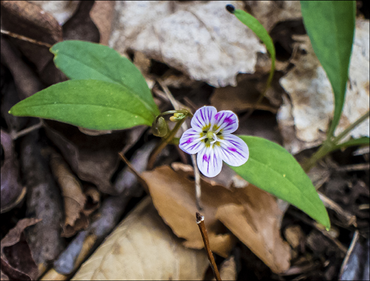 Wildflowers of the Adirondack Park: Carolina Springbeauty in bloom along the Heron Marsh Trail at the Paul Smiths VIC (8 May 2013)