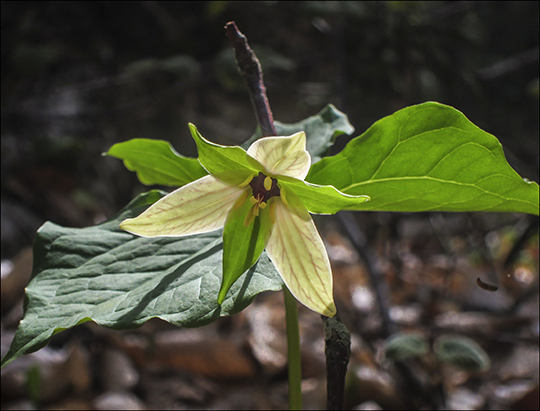 Wildflowers of the Adirondack Park:  Yellow form of the Purple Trillium along the Heron Marsh Trail at the Paul Smiths VIC