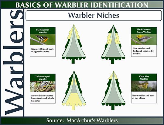 Birds of the Adirondacks:  Warbler Niches (20 June 2015)
