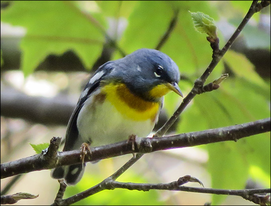Birds of the Adirondacks: Northern Parula on territory on the Loggers Loop Trail at the Paul Smiths VIC (20 June 2015)