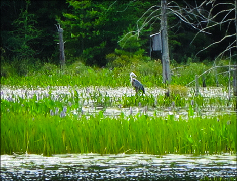 Birds of the Adirondacks:  Great Blue Heron on Heron Marsh at the Paul Smiths VIC