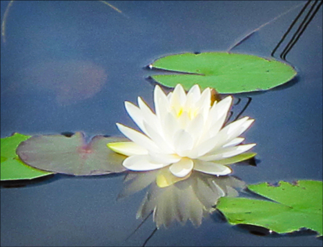 Adirondack Wildflowers: White Water Lily from one of the viewing platforms on Heron Marsh