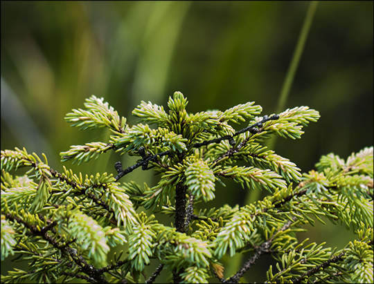 Trees of the Adirondacks:  Black Spruce on Barnum Bog at the Paul Smiths VIC (2 August 2013)