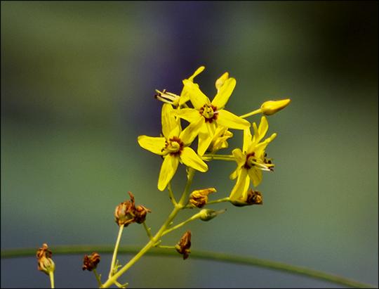 Adirondack Wildflowers:  Swamp Candles along Barnum Brook (2 August 2013)