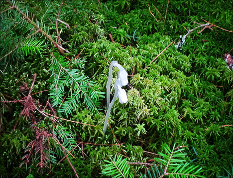 Adirondack Wildflowers: Indian Pipe from the Boreal Life boardwalk