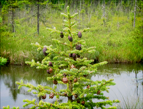 Trees of the Adirondacks:  Black Spruce from the Boreal Life boardwalk