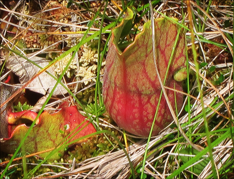 Adirondack Wildflowers: Pitcher Plant from the Boreal Life Boardwalk