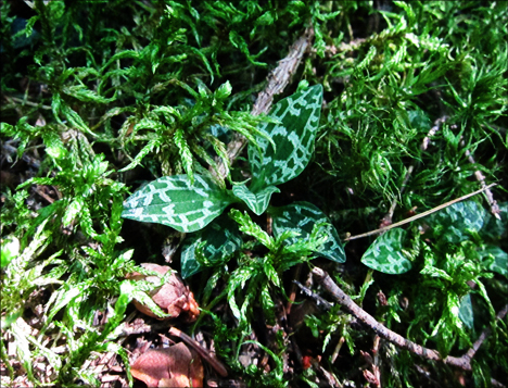 Adirondack Wildflowers:  Dwarf Rattlesnake Plantain on the Boreal Life Trail at the Paul Smiths VIC