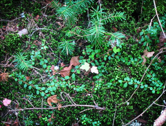 Adirondack Wildflowers:  Creeping Snowberry and moss on the Boreal Life Trail at the Paul Smiths VIC