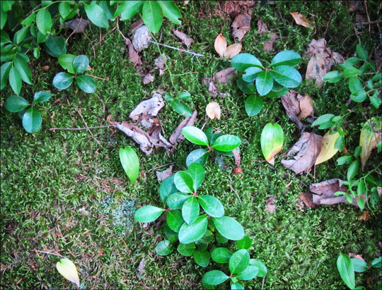 Adirondack Wildflowers:  Wintergreen and moss on the Boreal Life Trail at the Paul Smiths VIC