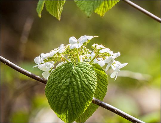 Adirondack Shrubs:  Hobblebush on the Boreal Life Trail (18 May 2014)