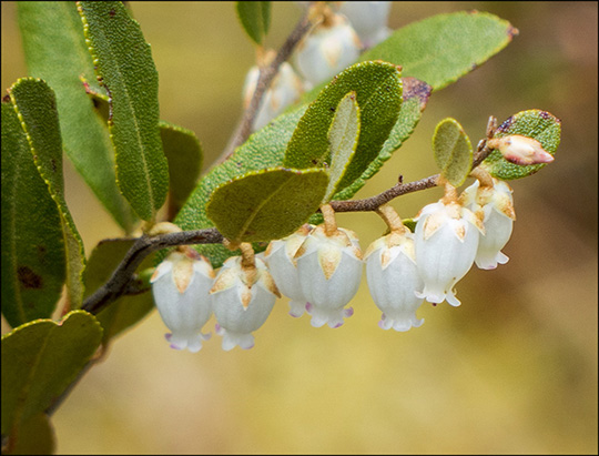 Adirondack Shrubs:  Leatherleaf on Barnum Bog (18 May 2014)