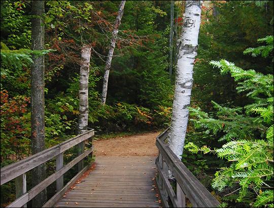 Trees of the Adirondacks: Paper Birch along the Barnum Brook Trail (16 September 2004)