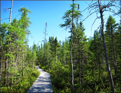 Adirondack Wetlands:  Boreal Life Boardwalk at the Paul Smiths VIC