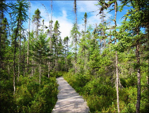 Trees of the Adirondacks:  Black Spruce and Tamarack along the boardwalk on the Boreal Life Trail at the Paul Smiths VIC (22 July 2011)