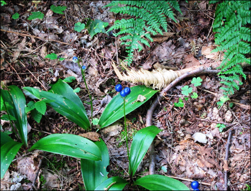 Adirondack Wildflowers: Blue Bead Lily at the Paul Smiths VIC (22 July 2011)