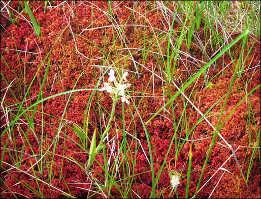 Adirondack Wildflowers:  White-fringed Orchid blooming in Barnum Bog at the Paul Smiths VIC (22 July 2011)