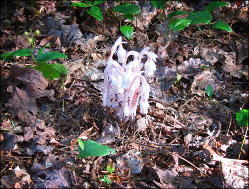 Adirondack Wildflowers:  Indian Pipe at the Paul Smiths VIC (22 July 2011)