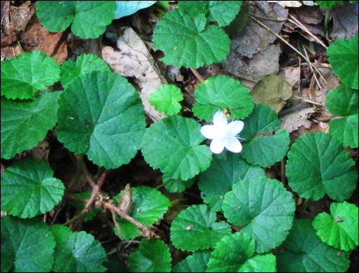 Adirondack Wildflowers: False Violet in bloom at the Paul Smiths VIC (22 July 2011)