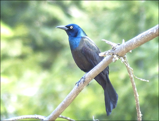 Birds of the Adirondacks:  Common Grackle near the Black Pond Trail  (7 May 2013)