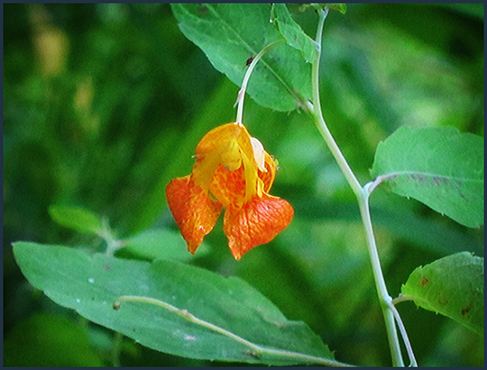 Adirondack Wildflowers:  Touch-me-not along the Black Pond Trail (16 August 2012)