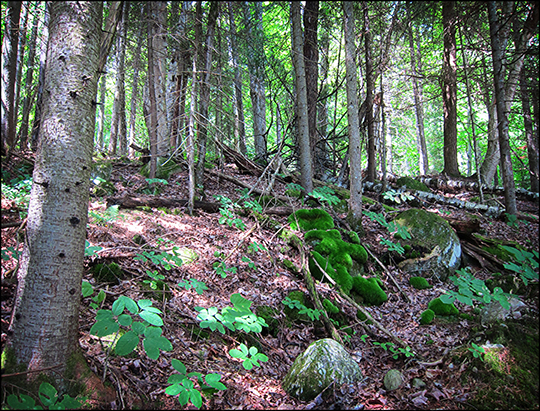 Adirondack Habitats: Mixed forest on the Black Pond Trail (16 August 2012)