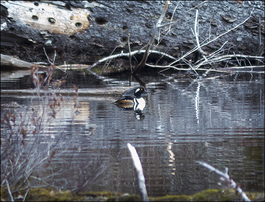 Birds of the Adirondacks: Hooded Merganser on Black Pond (27 April 2013)